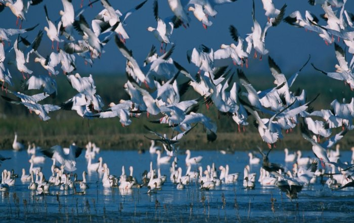One of Canada's best birdwatching spots - A mass of migrating snow geese
