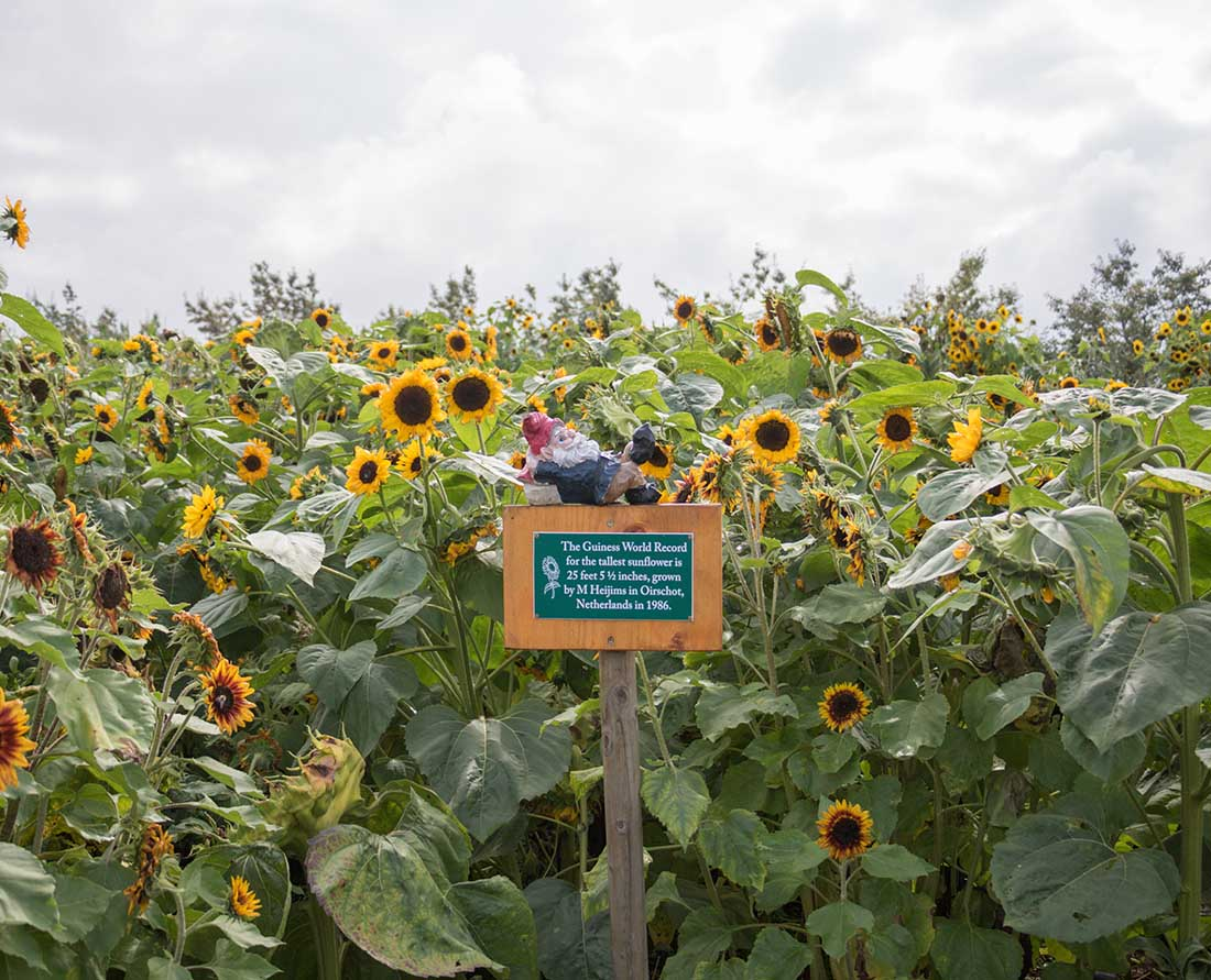 Celebrate fall harvest on the Taves Family Farms Applebarn in the Sunflower Patch