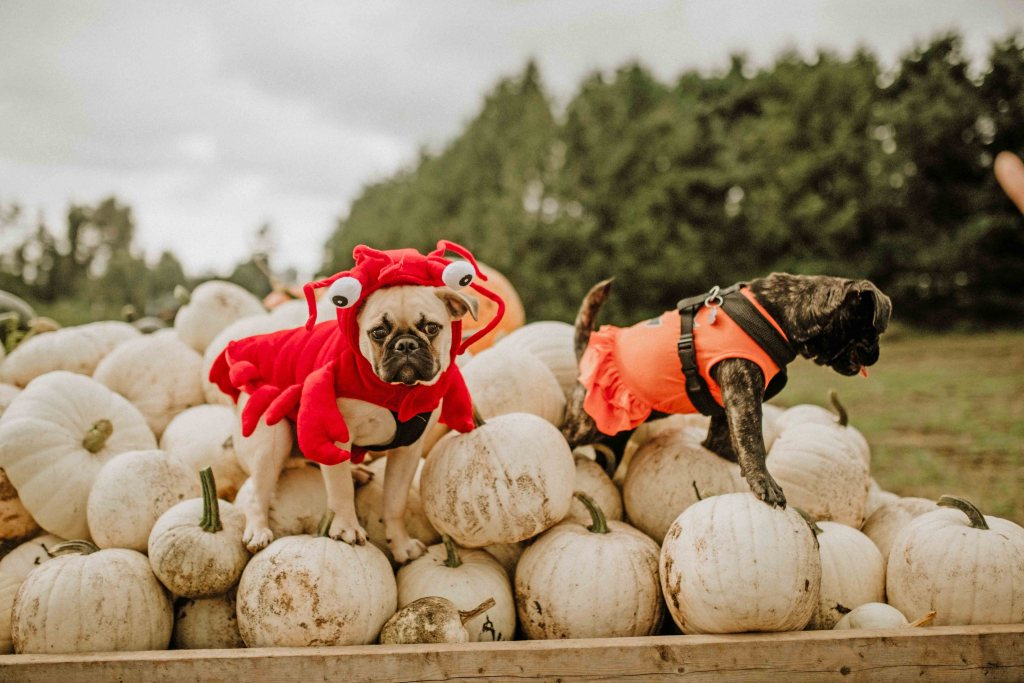 Mann Farms Fall Festival Pumpkin Patch features the only white pumpkin patch in Canada.