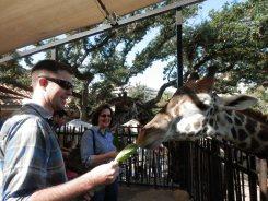 Feeding the giraffes!