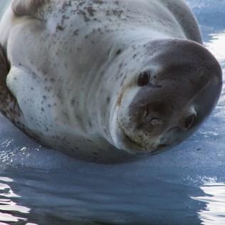 Léopards des mers en Antarctique
