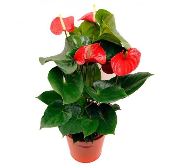 Piante da appartamento con fiori - Anthurium