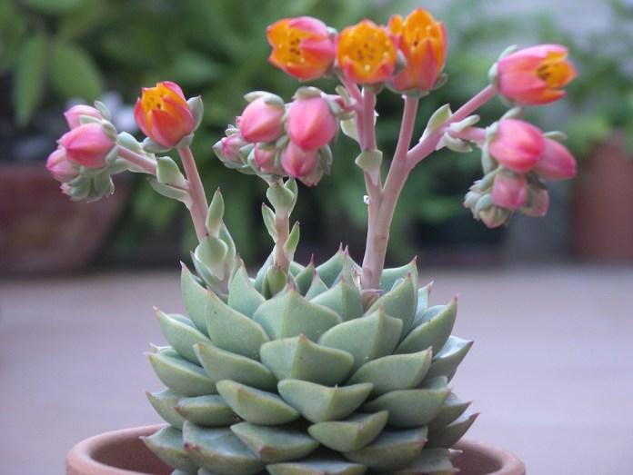 piante da appartamento con fiori - Echeveria