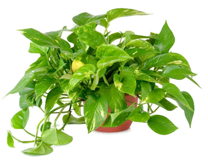 piante da appartamento resistenti - Pothos