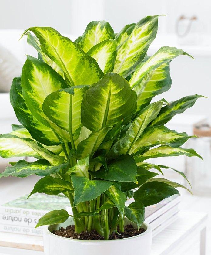 piante verdi da appartamento - Dieffenbachia