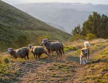 How are livestock guarding dogs protecting livestock?