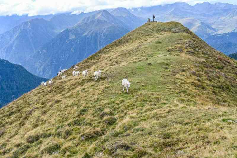 Sheep on a ridge