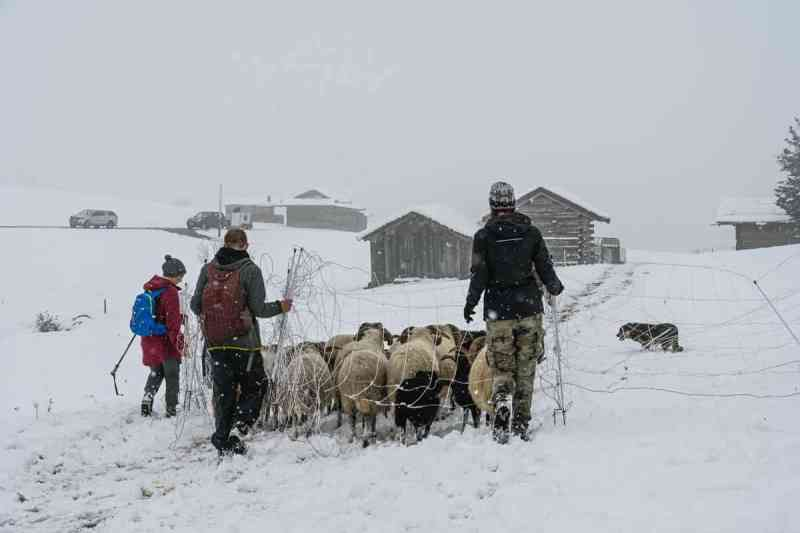 Herding in the snow