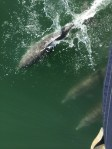 Dolphins riding the bow wave