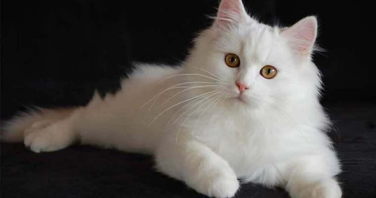 Inilah 7 Tips Memelihara Kucing Anggora Sedari Awal