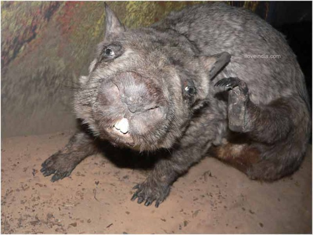 Wombat sie czesze