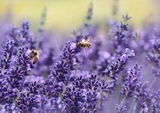 Uses of lavender essential oil