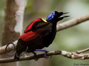 Wilsons_Bird_Of_Paradise__copy