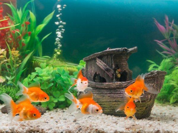 फ़िश टैंक में मछलियों की देखरेख
