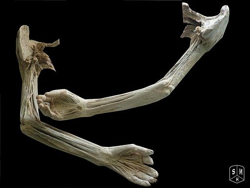 By Anatomist90 (Own work) [CC-BY-SA-3.0 , via Wikimedia Commons