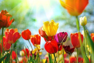 Enhanced photo of tulips basking in the sunlight
