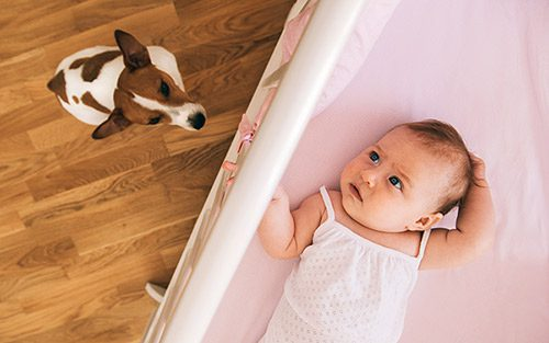 Jack Russell terrier curious about new baby in the home