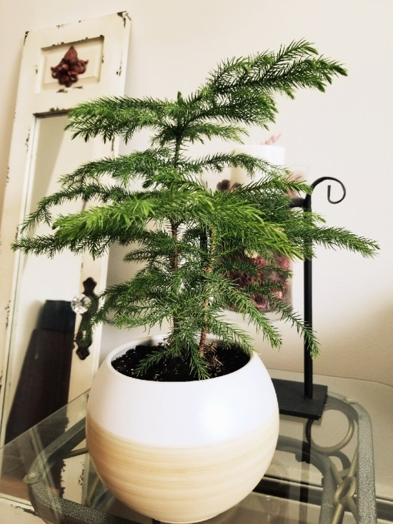 Norfolk Pine Tree