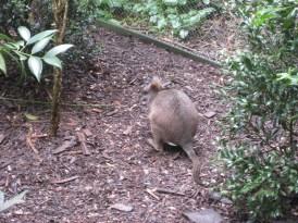 Rat wallaby?