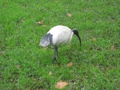 These birds are everywhere - they like to pick grubs