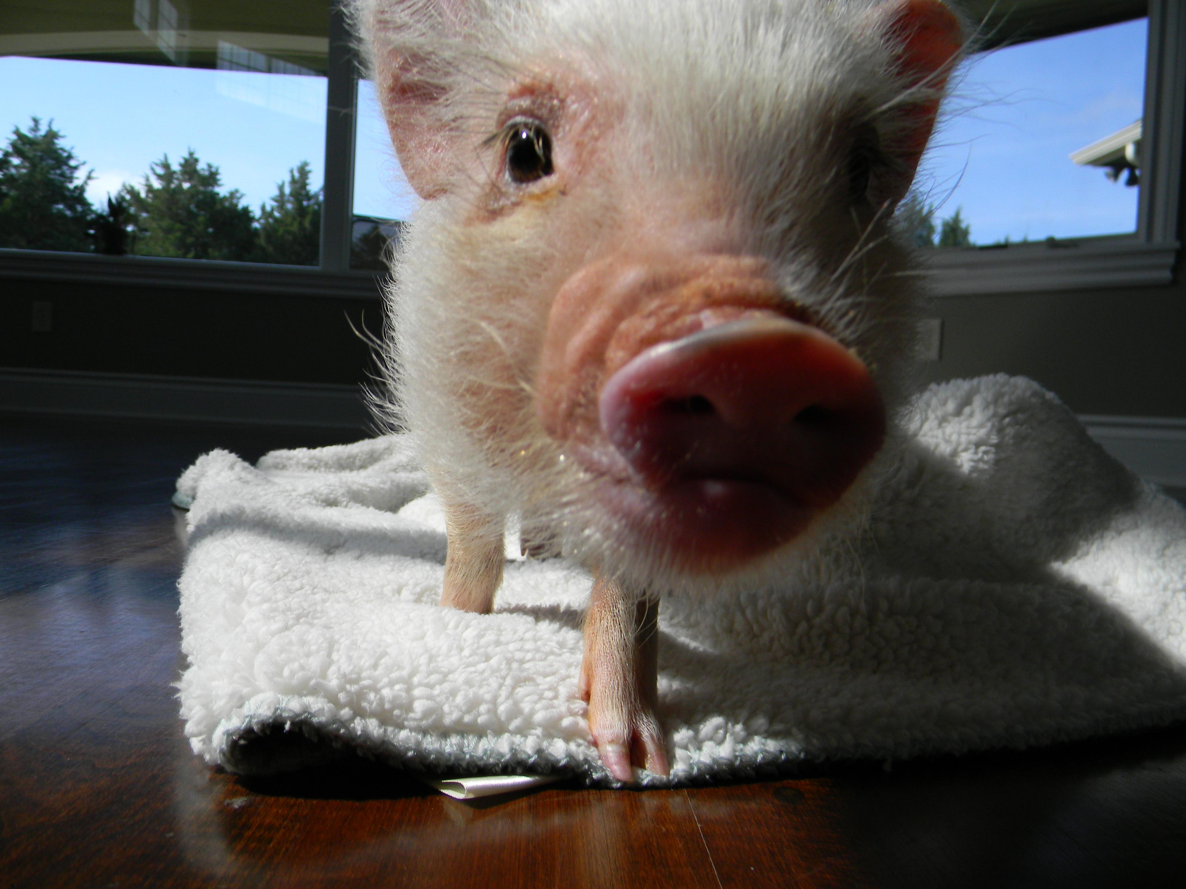 Meet Oscar Life With A Mini Pig