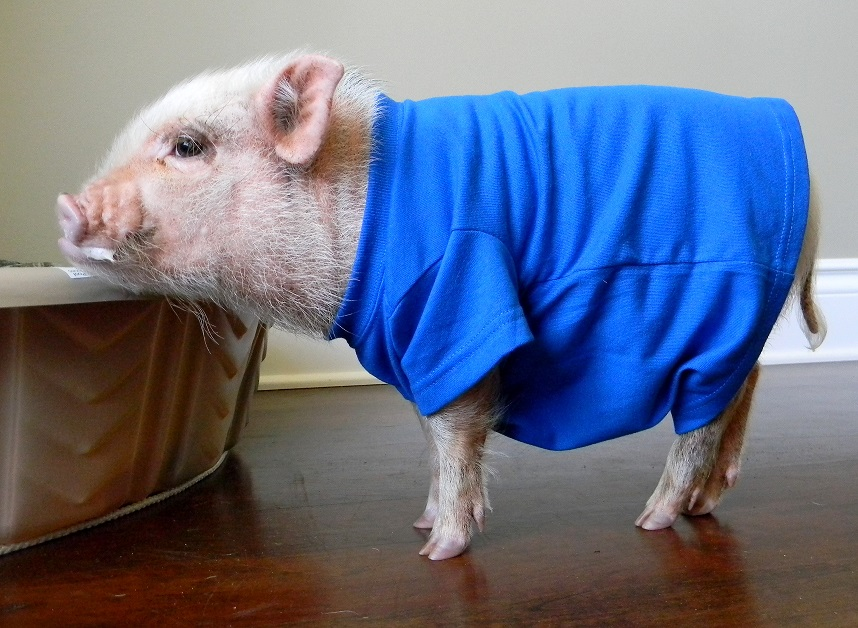 a6d38d93a Mini Pig Oscar's New Outfit from Snort Life | Life with a Mini Pig