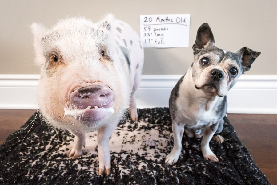 Mini Pig Oscar's 20 Month Weigh In | Life with a Mini Pig
