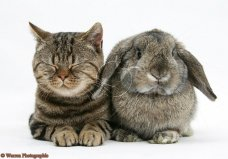 British Shorthair Brown tabby cat, Tiger Lily, with agouti Lop rabbit