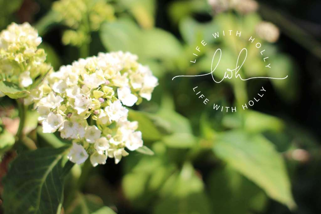 White hydrangea - North Facing Cottage Garden - My Garden in June - Life with Holly (11)