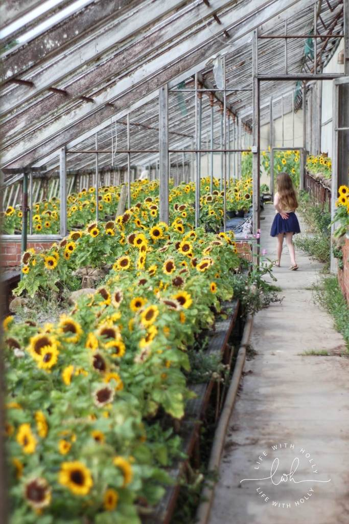 Sunflowers in Victorian Conservatory - Harewood House - Seeds of Hope Exhibition - Life with Holly Blog