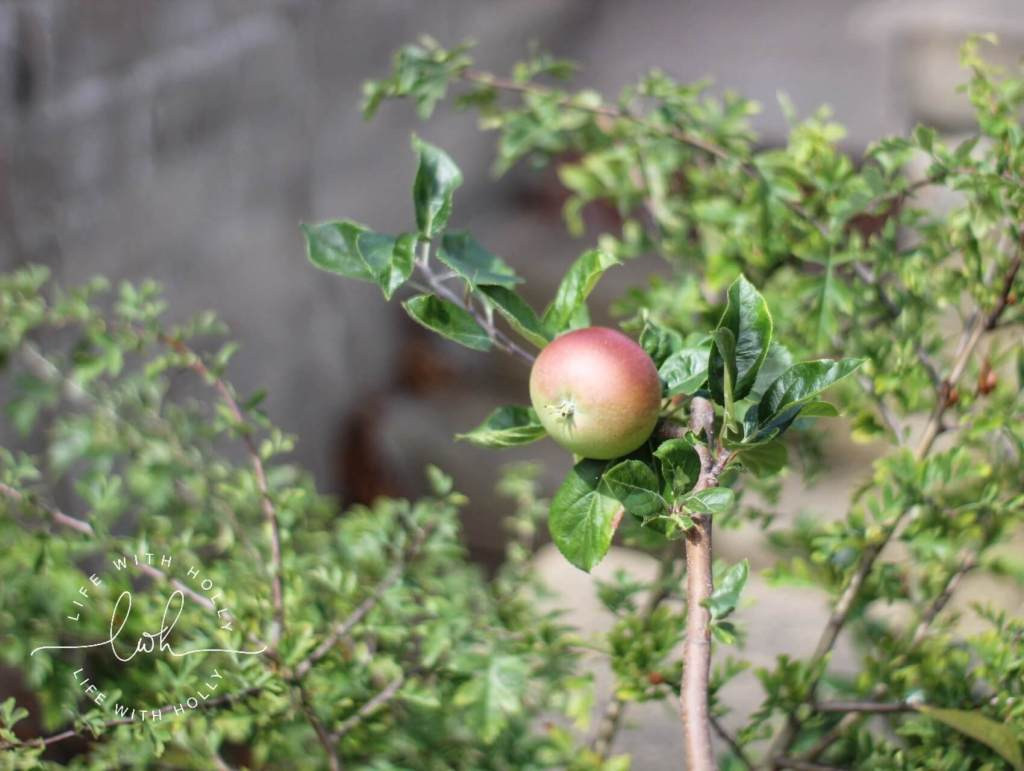 Red Devil Apple Tree - Life with Holly Blog