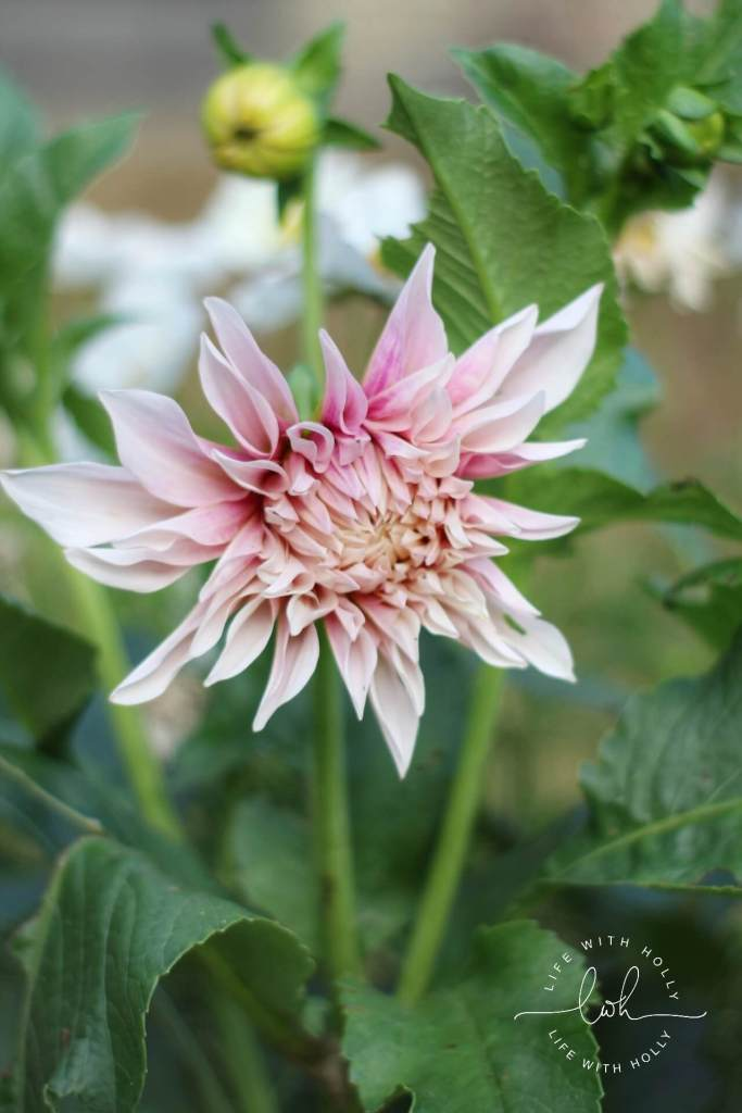 Cafe au Lait Dahlia - Life with Holly Blog