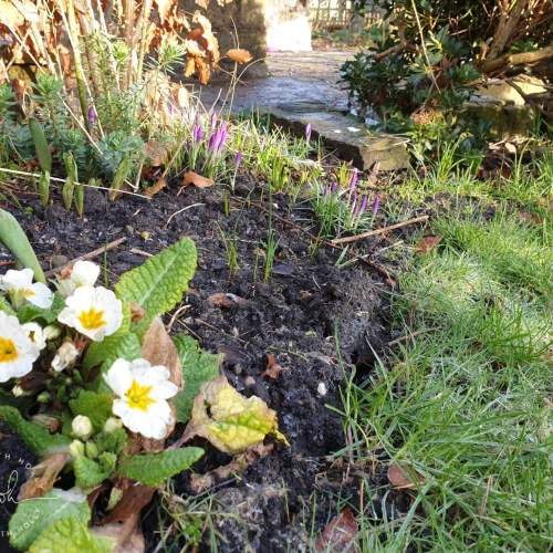 Primrose and Crocus North-East-Facing-Garden-New-Flower-Bed-Plants-for-Shade-by-Life-with-Holly