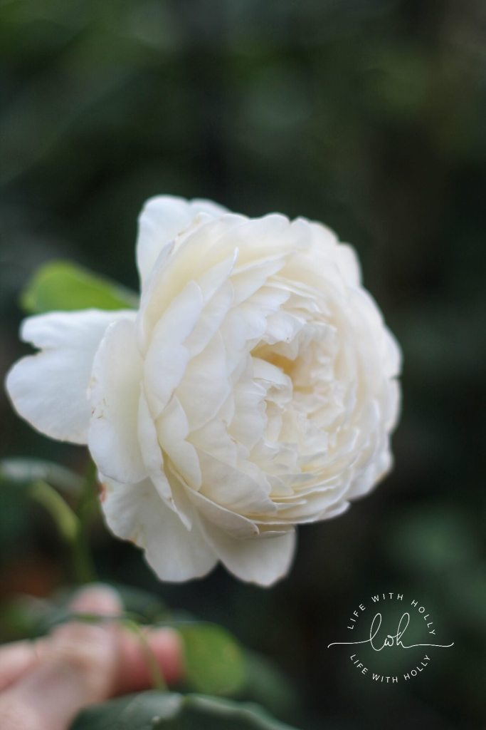 Claire Austin Rose by Life with Holly My Garden in August