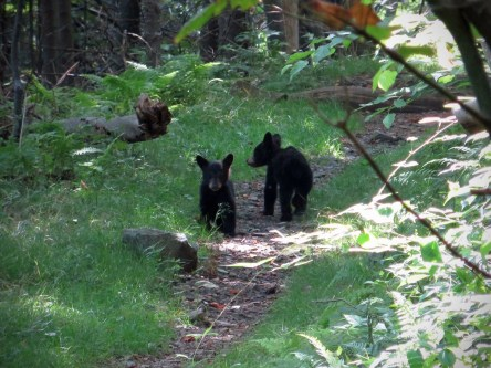 Black bear cubs
