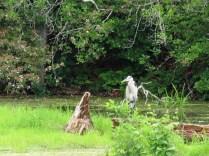Blue Heron on the Beaver Pond