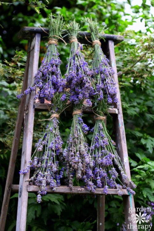 Harvesting English Lavender & How To Use It - Garden Therapy - HMLP 95 - Feature