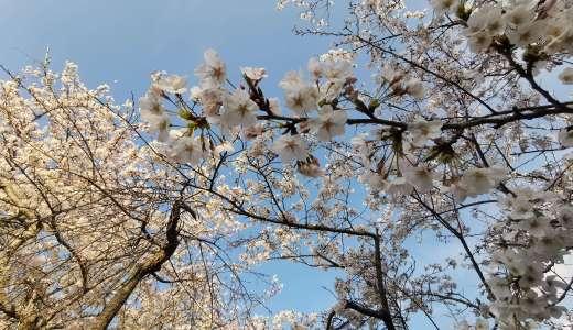 桜日本100選に選ばれた衣笠山公園に桜を見に行ってきた