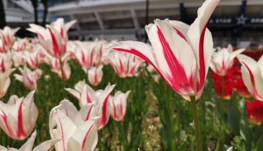 【横浜限定】珍しい新品種の植物。見るだけでも価値がある。鑑賞場所と時期をご紹介。チューリップのラバーズタウン
