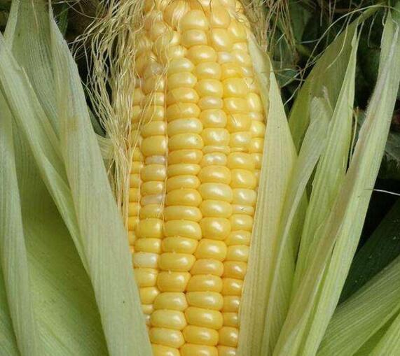 【實用】這幾種儲存玉米的方法,讓你一年四季都可以吃上新鮮玉米! | LifeZ 生活誌