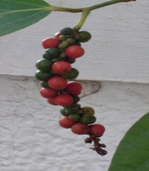 Ripe pepper red in colour turns black on drying.