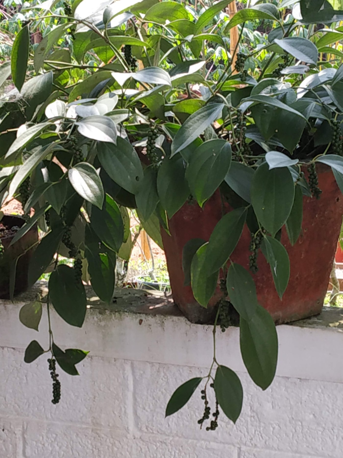 Keep the bush pepper plants in shade for better yields.