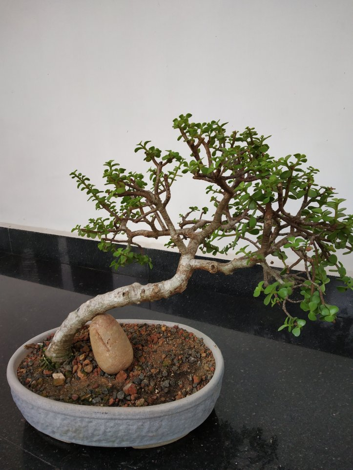 It is very easy to grow Jade tree to any styles of bonsai.
