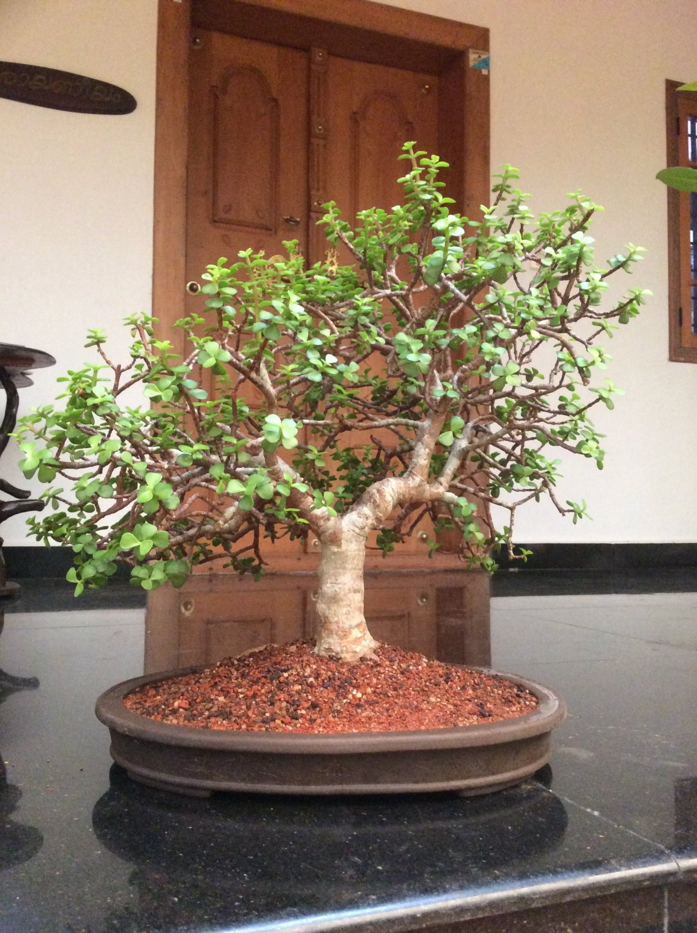 Learn to grow Jade bonsai- it brings luck and prosperity.