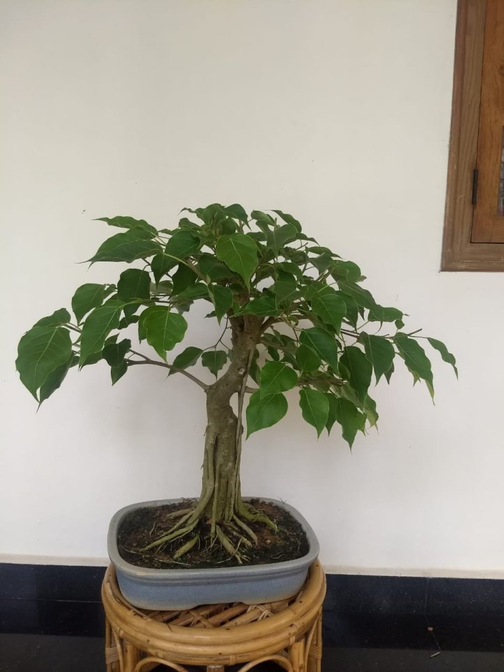 Ficus bodhi is an ideal tropical bonsai plant.