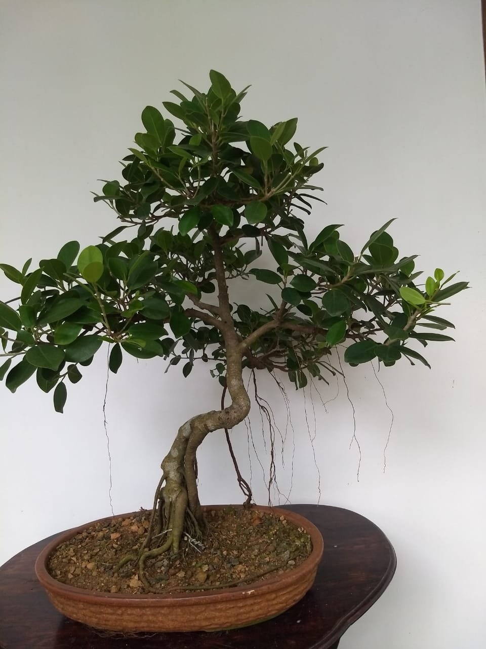 Bonsai plants ideal gifts for your loved ones.
