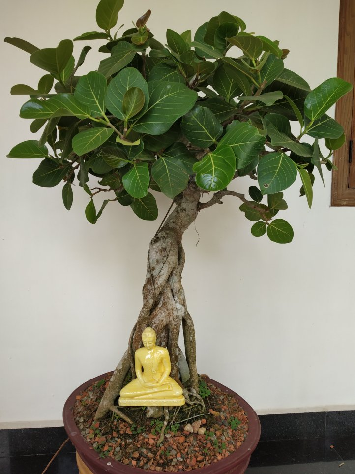 Ficus benghalensis bonsai, ideal for tropical regions.