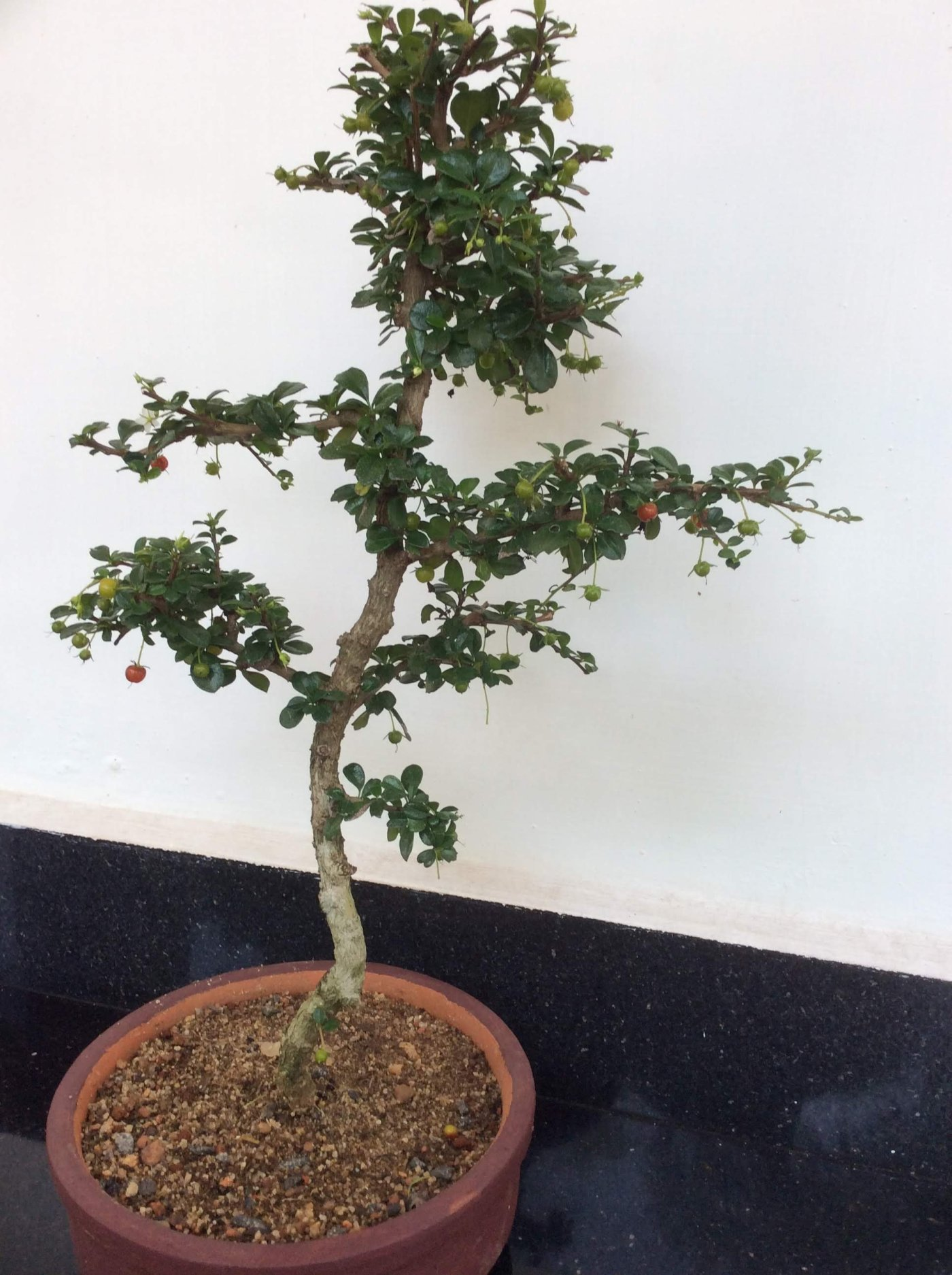 One of the Easily Growing Flowering Bonsai