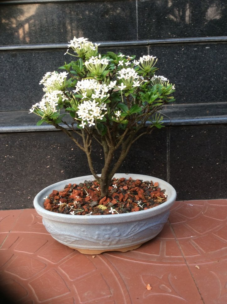Ixora bonsai One of the Easily Growing Flowering Bonsai