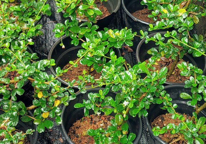 Saplings of the Fukien tea tree developed from stem cuttings.